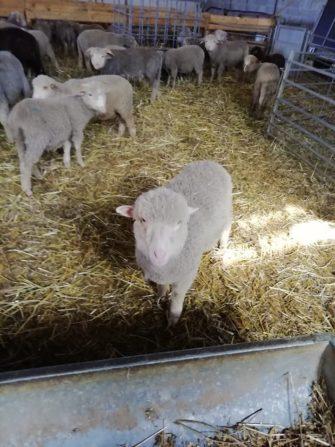 LA FERME DES PALETS élevage d'agneaux Saint-Julien le Montagnier, Haut Var Provence - Producteur - Haut Var Verdon - Image 6